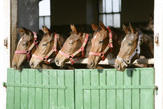Purebred anglo-arabian chestnut horses standing at the barn door. Group of nice thoroughbred foals looking over stable door stock photos
