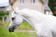 Purebred arab horse Stock Photography