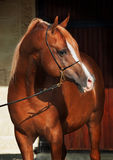 Purebred arabian chestnut  stallion Royalty Free Stock Photography