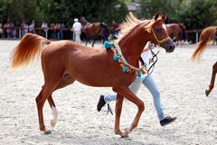 Purebred arabian horse on a  foal show Stock Images