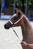 Purebred arabian horse on a foal show Royalty Free Stock Photography