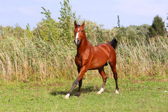 Purebred arabian horse galloping across a green summer pasture Royalty Free Stock Photography