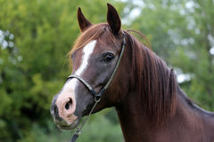 Purebred arabian horse head on natural background Royalty Free Stock Photo