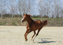 Purebred arabian horse in motion Royalty Free Stock Photo