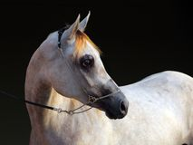 Purebred Arabian Horse, portrait of a dapple gray mare. With jewelry bridle in dark background royalty free stock photography