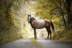 Purebred Arabian horse standing in a path in a forest stock photos