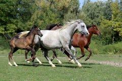 Purebred arabian horses galloping on summer pasture Stock Photography