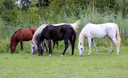Purebred arabian horses grazing on pasture summertime. Group of thoroughbred arabian foals and mares grazing fresh green grass Royalty Free Stock Image