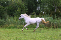 Purebred arabian mare canter on meadow summer time Royalty Free Stock Photography