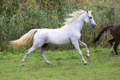 Purebred arabian mare canter on meadow summer time Stock Photos
