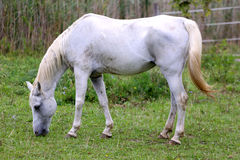 Purebred arabian mare grazing on pasture summertime Royalty Free Stock Photo