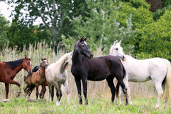 Purebred arabian mares and foals on natural environment Stock Images