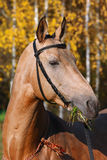 Purebred arabian racehorse Stock Images