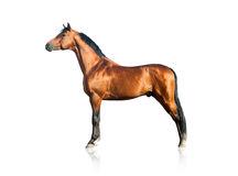 Purebred arabian stallion Stock Images