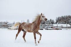 Purebred arabian stallion stock photos