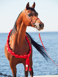 Purebred arabian stallion portrait on the sea background. Outdoor royalty free stock image