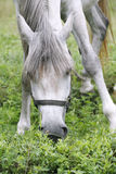 Purebred arabian youngster peacefully grazed on a green lawn Royalty Free Stock Images
