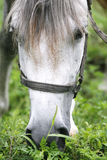 Purebred arabian youngster peacefully grazed on a green lawn Royalty Free Stock Photo