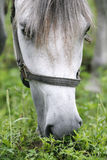 Purebred arabian youngster peacefully grazed on a green lawn Stock Photos