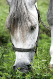 Purebred arabian youngster peacefully grazed on a green lawn Stock Photography