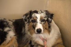 Purebred Australian Shepherd dog. Portrait of purebred Australian Shepherd pet dog Royalty Free Stock Image