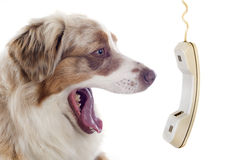 Australian shepherd and phone Royalty Free Stock Photography