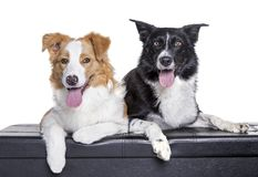 Purebred australian shepherds different colours in front of w Royalty Free Stock Image