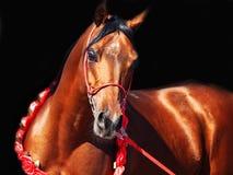 Purebred bay arabian stallion portrait in movement. At black background stock photos