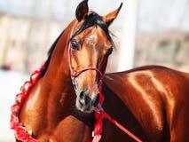 Purebred bay arabian stallion portrait in movement. Outdoor royalty free stock photo