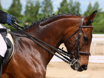 Purebred bay sportive stallionwith bridle Stock Images