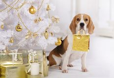 Purebred Beagle dog with a gift package in his mouth Stock Image