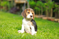 Purebred beagle dog looking for somthing Stock Photography