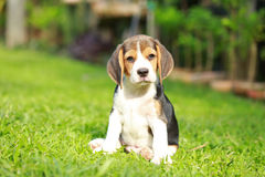 Purebred beagle dog looking for somthing Royalty Free Stock Image