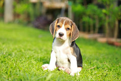 Purebred beagle dog looking for somthing Stock Photo