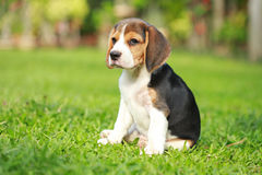 Purebred beagle dog looking for somthing Stock Image