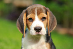 Purebred beagle dog looking for somthing Royalty Free Stock Photo