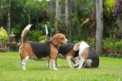Purebred beagle dog looking for somthing Royalty Free Stock Photos