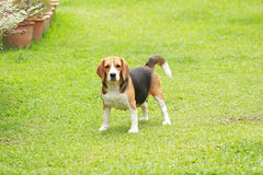 Purebred beagle dog looking for somthing Royalty Free Stock Images
