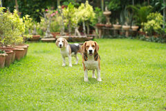 Purebred beagle dog looking for somthing Stock Photos