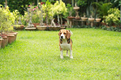 Purebred beagle dog looking for somthing Stock Images