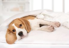 Purebred Beagle dog lying on the bed Royalty Free Stock Photo