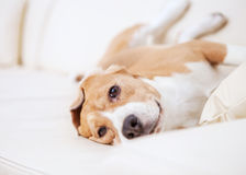 Purebred beagle dog lying on white sofa in luxury hotel room Stock Photo
