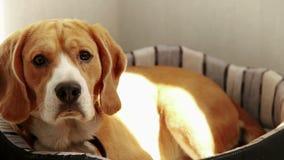 Purebred Beagle lying on the beach na kanapie w ranku słońca promieniach zbiory wideo