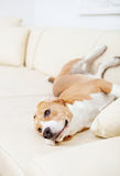 Purebred beagle lying on the sofa Royalty Free Stock Photo