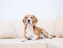 Purebred beagle lying on sofa Stock Images