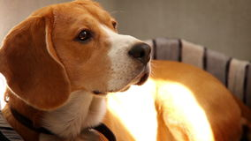 Purebred Beagle lying on sofa in the morning sun rays stock video footage