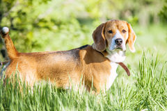 Purebred beagle portrait in green grass Stock Photography