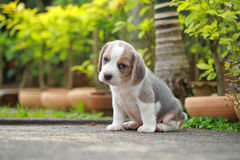 Purebred beagle puppy is learning the world. In first time Stock Images