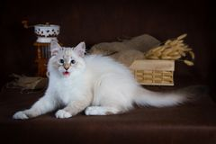 Purebred beautiful Neva masquerade cat, kitten on a brown background. Coffee grinder and box with dry flowers as. Decoration Royalty Free Stock Image