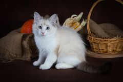 Purebred beautiful Neva masquerade cat, kitten on a brown background. Harvest of autumn vegetables and fruits in baskets. As decoration Stock Images